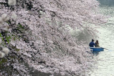 日本,櫻花,千鳥淵,開花