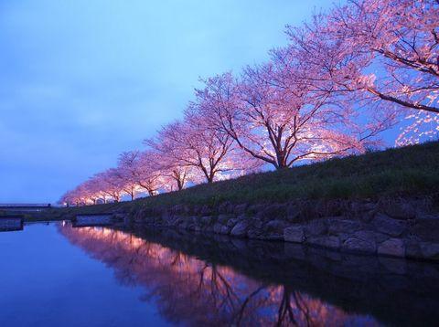 日本,韓國,櫻花,滿開,推薦