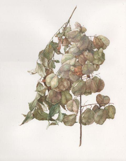 Watercolor paint, Plant, Grapevine family, Botany, Flower, Illustration, Leaf, Grape, Vitis, Tree,
