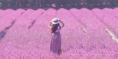 People in nature, Lavender, Purple, Pink, Violet, Field, Flower, Lilac, Plant, Grass,