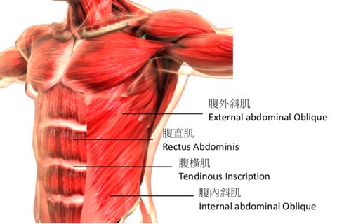 腹肌系統圖
