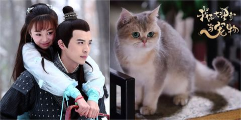 Cat, Felidae, Small to medium-sized cats, Whiskers, Carnivore, British longhair, Asian, Kitten, Norwegian forest cat, Scottish fold,