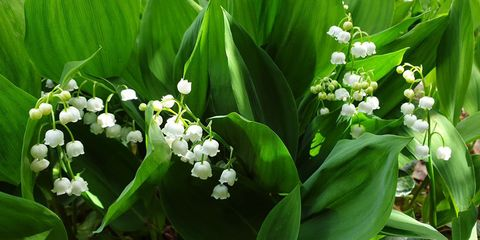 Flower, Lily of the valley, Plant, Flowering plant, Spring, Solomon's seal, Petal,