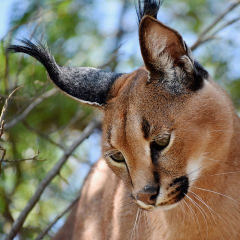Caracat Savannah Toyger Le Razze Di Gatto Più Affascinanti