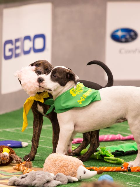 Vertebrate, Dog, Mammal, Canidae, Dog breed, Conformation show, Carnivore, Dog sports, Sporting Group, Tail,