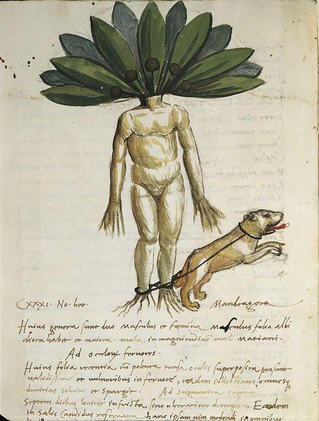 Cos'è la mandragora la pianta tossica negli spinaci velenosi