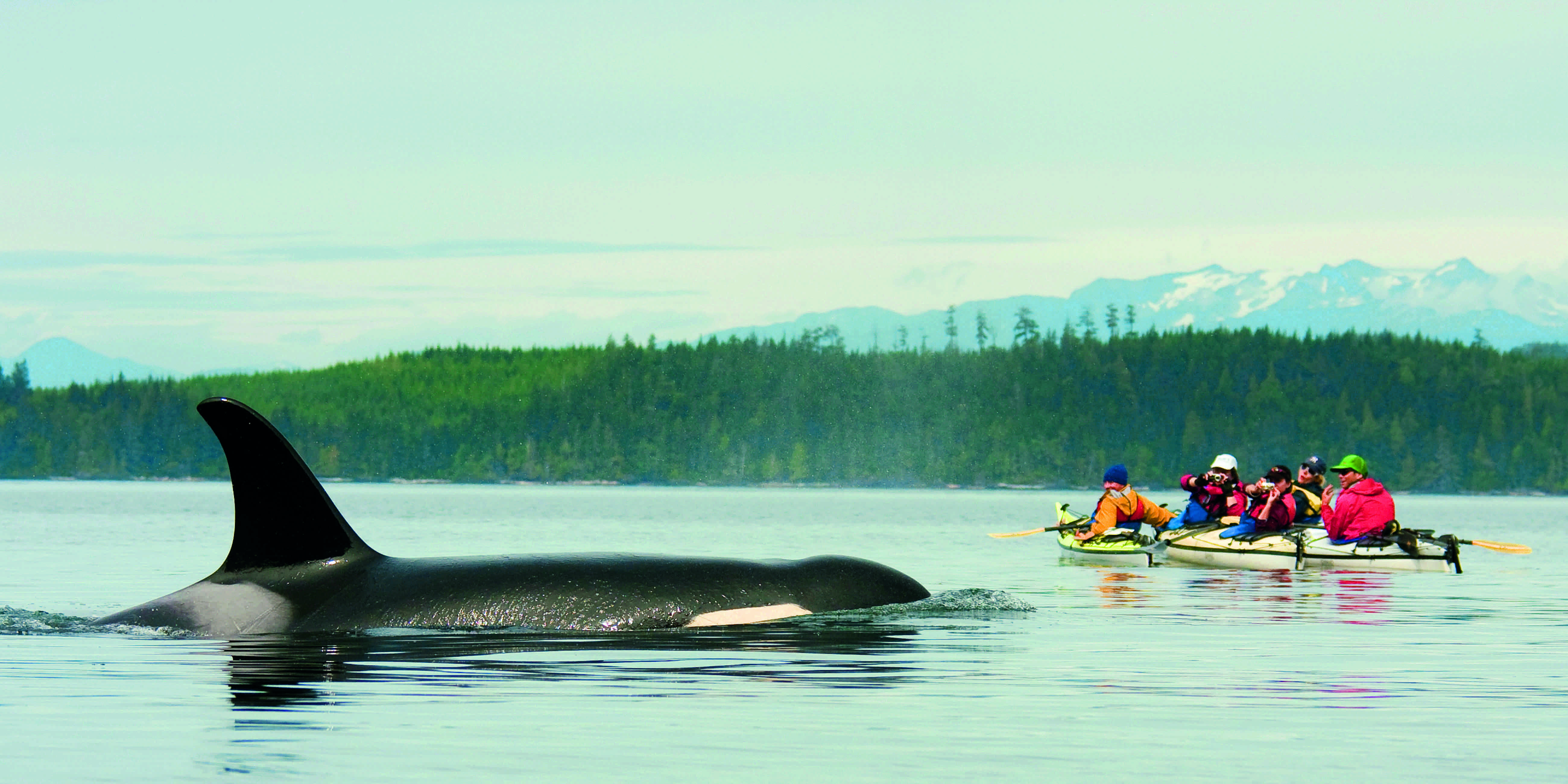 Orca Whale (killer whale) with kayakers rafted up on Johnstone Strait, Vancouver Island, British Columbia, Canada