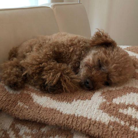 Dog, Mammal, Canidae, Maltepoo, Dog breed, Schnoodle, Companion dog, Cockapoo, Carnivore, Puppy,