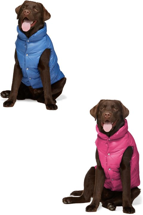 Dog, Canidae, Dog clothes, Dog breed, Outerwear, Sporting Group, Brown, Labrador retriever, Puppy, Standing,