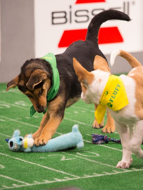 Dog, Canidae, Dog breed, Flyball, Carnivore, Tail, Conformation show, Beagle, Rally obedience, Games,