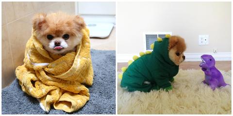 boo,世界上最可愛的狗,毛小孩,萌狗,博美犬,過世,buddy,心碎,社群,離世