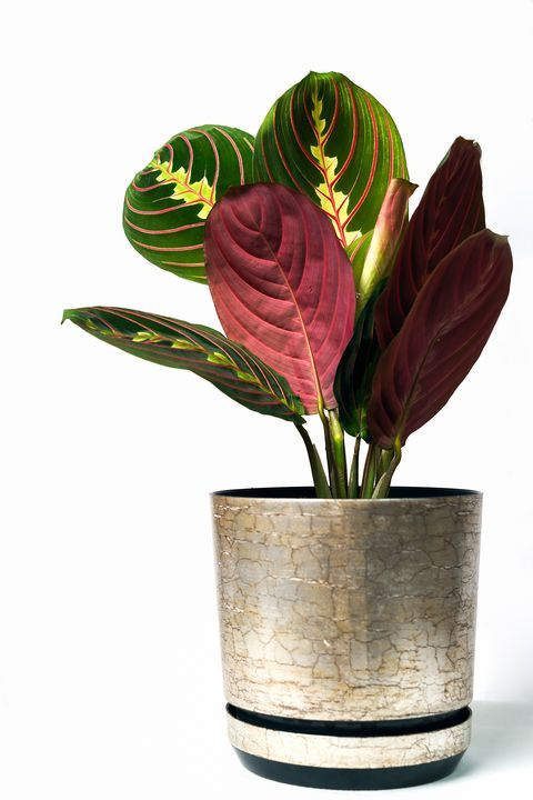 Calathea colorful leaves as tropical plant leaves on a pink background, minimal concept (copy space for your text). Calathea Maranta, Red Prayer plant. Tropical foliage.