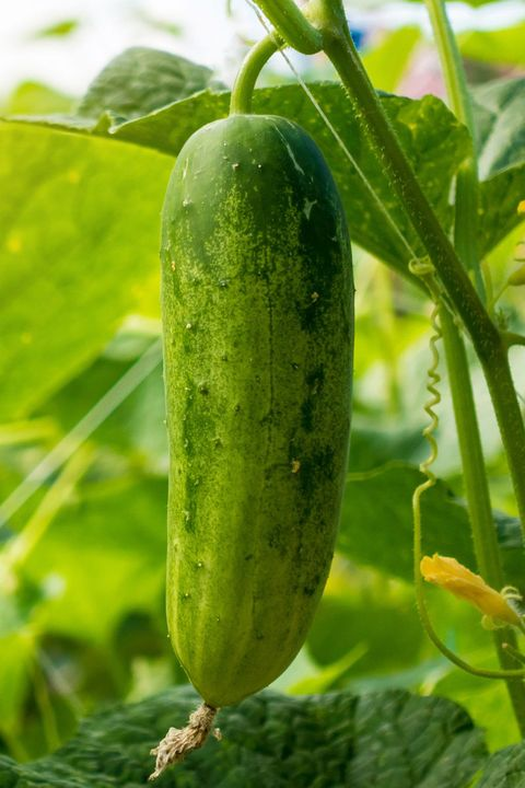 Plant, Food, Vegetable, Scarlet gourd, Cucumber, Cucumber, gourd, and melon family, Flower, Produce, Flowering plant, Caigua,