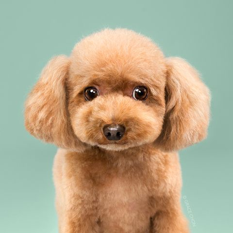 Dog, Mammal, Vertebrate, Canidae, Dog breed, Puppy, Toy Poodle, Maltepoo, Poodle, Miniature Poodle,