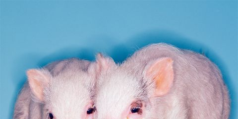 reduce binge eating: little piggies