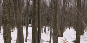 Global Warming: New England's Maple Forest