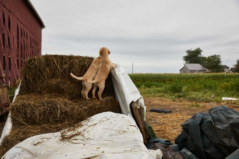 Dogs at Floyd Landis' hemp farm in Lancaster County, PA in October 2019.