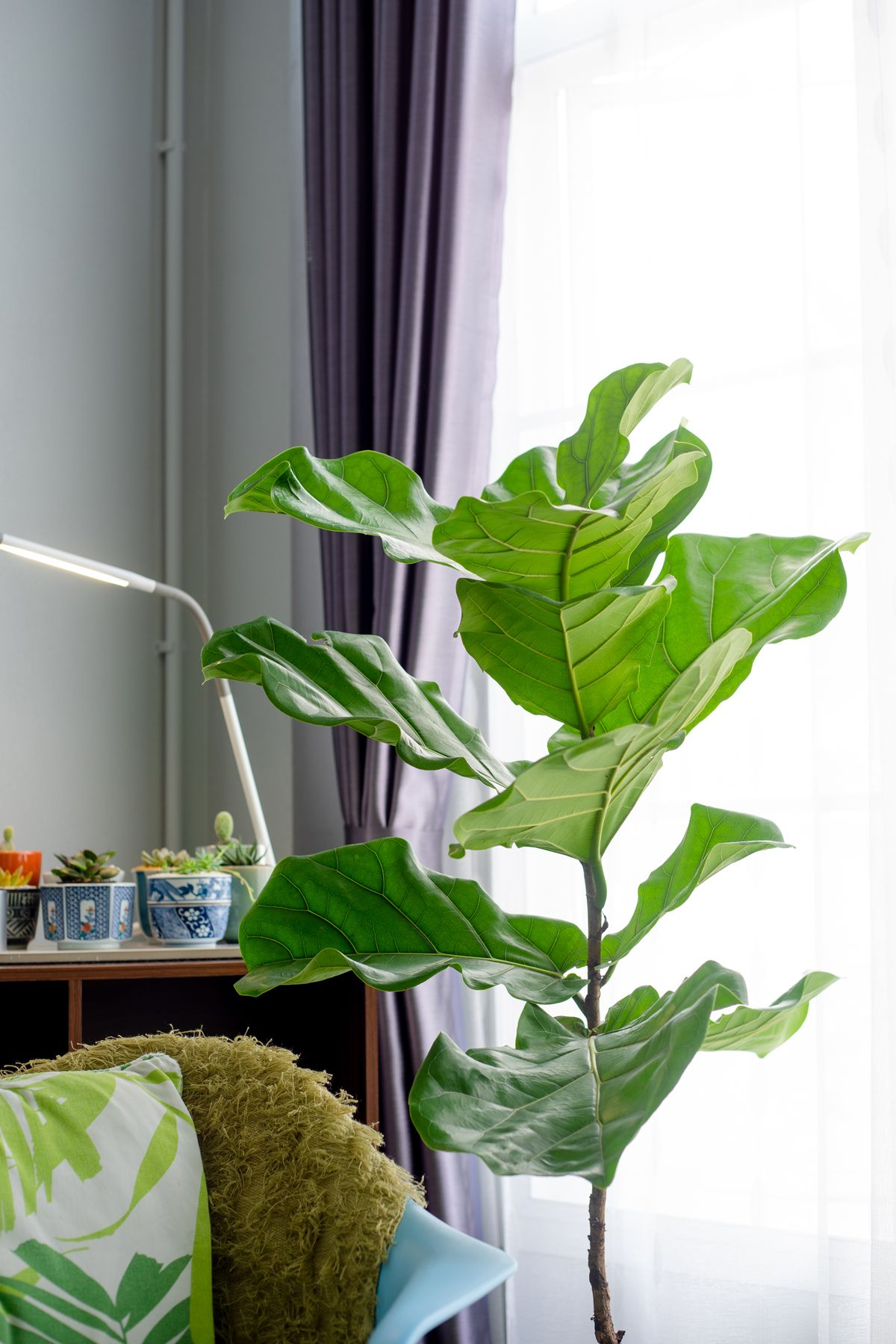Fiddle leaf fig tree in the living room.