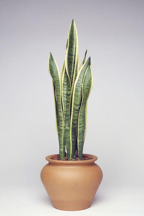 あなたの家をオアシスにする13の大きな観葉植物