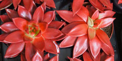 牡羊座:赤いエケベリア・アガボイデス・リップスティック【12星座別】おすすめのの多肉植物
