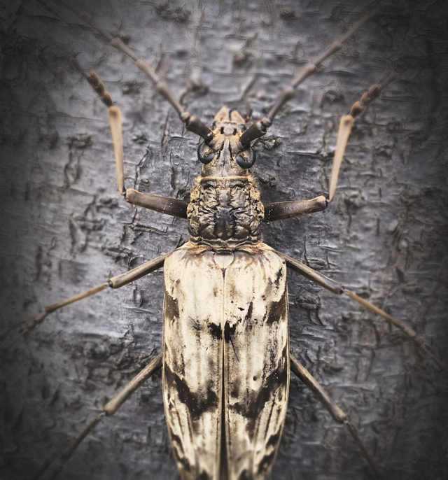 a neocerambyx gigas longhorn beetle