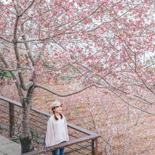 2021全台賞櫻景點最強懶人包!台北陽明山、淡水天元宮、武陵農場⋯全被染成夢幻粉紅色