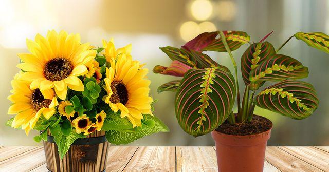 yellow sunflowers and  red maranta prayer plant