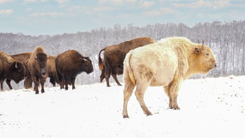 A Beautiful and Rare White Bison Has Been Spotted in Missouri's Ozark Mountains 1-dogwood-canyon-nature-park-takoda-with-bison-herd-in-snow-1613074887