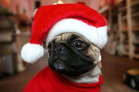 Pug, Dog, Canidae, Snout, Dog clothes, Companion dog, Dog breed, Christmas, Santa claus, Carnivore,