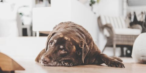 Vertebrate, Dog, Mammal, Canidae, Dog breed, Carnivore, Sporting Group, Snout, Companion dog, Fila brasileiro,