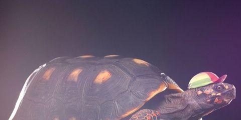 Organism, Terrestrial animal, Light, Organ, Reptile, Turtle, Tortoise, Macro photography, Still life photography, Geoemydidae,