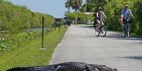 bicycle alligator