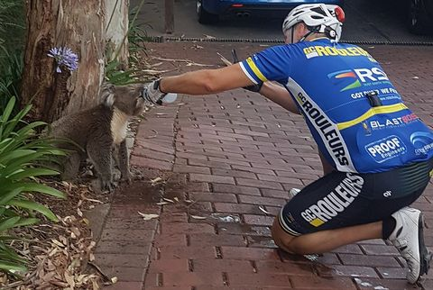 Watch This Thirsty Koala Guzzle from a Cyclist's Water Bottle
