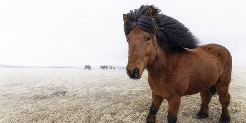 Brown, Natural landscape, Horse, Pony, Plain, Terrestrial animal, Ecoregion, Mustang horse, Mane, Snout,