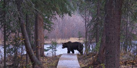 Natural landscape, Branch, Tree, Landscape, Nature reserve, American black bear, Forest, Terrestrial animal, Biome, Trunk,