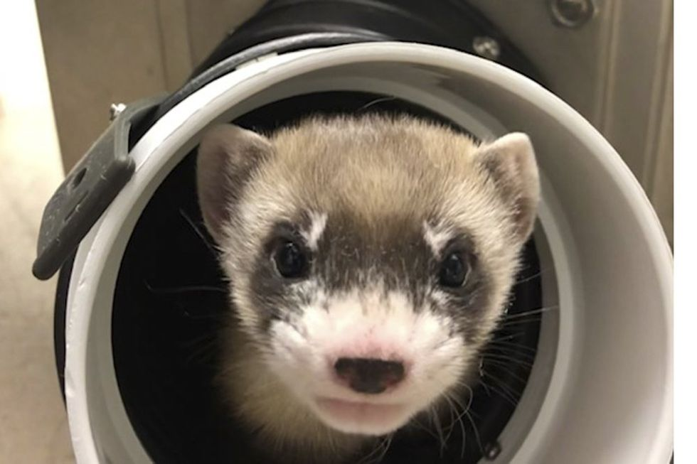 <p>This Ferret Died 33 Years Ago. </p>Scientists Just Brought Her Back to Life. thumbnail