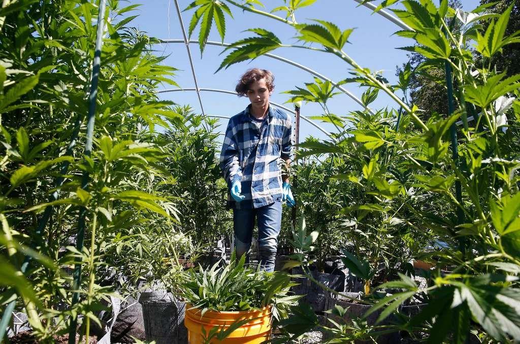 Skyler Galauski trims tops from organically grown marijuana plants at the SPARC cannabis farm in Glen Ellen.