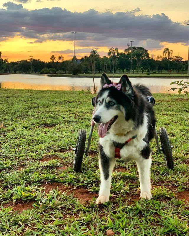 「命を買うより助けるほうがいい」という信念を持つ、ブラジルのとある女性が、子犬を産むためだけに劣悪な環境下で飼育されていたハスキーを救った。ハスキーは女性と第2の人生を、歩んでいる。