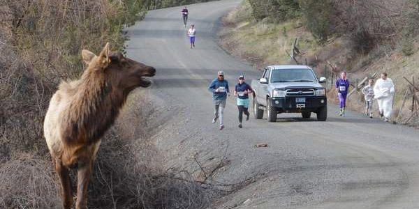 An elk enters a 5K
