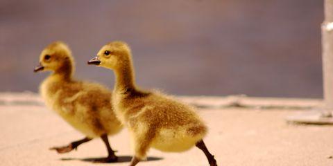Nature, Brown, Yellow, Skin, Organism, Vertebrate, Bird, Beak, Ducks, geese and swans, Adaptation,