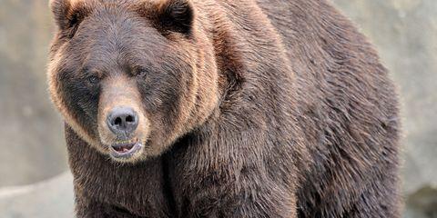Organism, Brown, Vertebrate, Bear, Brown bear, Carnivore, Grizzly bear, Photograph, Kodiak bear, Facial expression,
