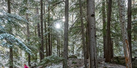 Natural environment, Winter, Forest, Old-growth forest, Grove, Woodland, Spruce-fir forest, Trunk, Biome, Wilderness,