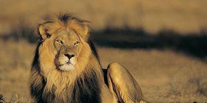 fast runner lion
