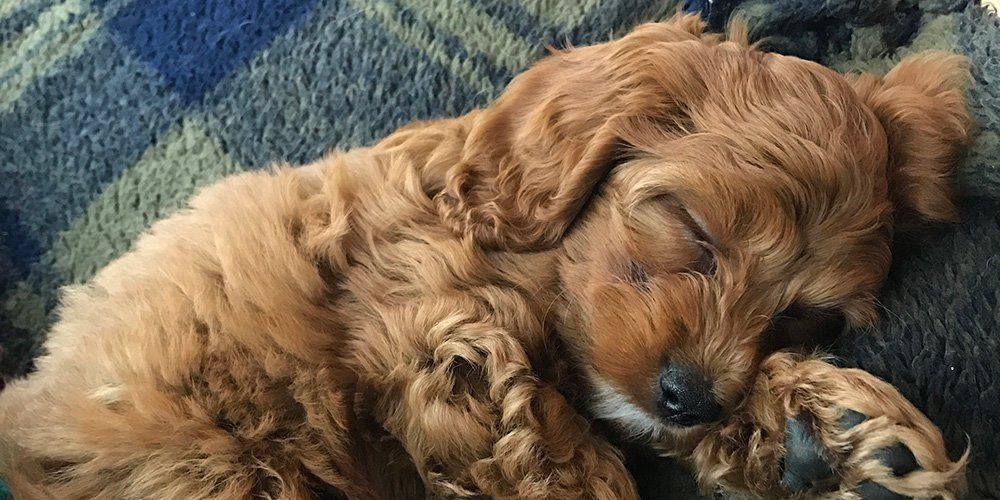 Monica Grater's puppy, Macie the Cockapoo sleeping