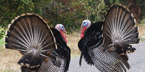 Two wild turkeys