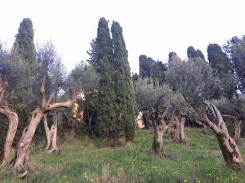 オリーブの木がいっぱいの庭