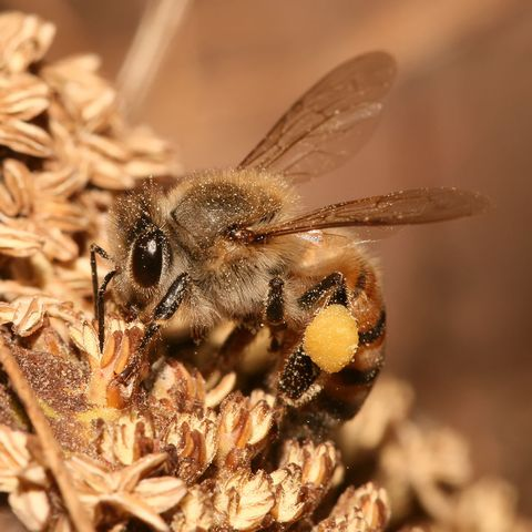 Bee, Honeybee, Insect, Megachilidae, Membrane-winged insect, Invertebrate, Pollinator, Tachinidae, Net-winged insects, Close-up,
