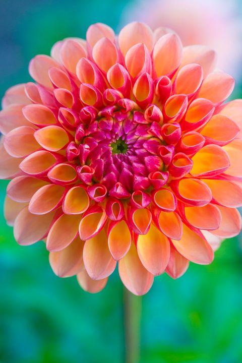 Flower, Flowering plant, Petal, Plant, Dahlia, Pink, Yellow, Botany, Close-up, Peach,
