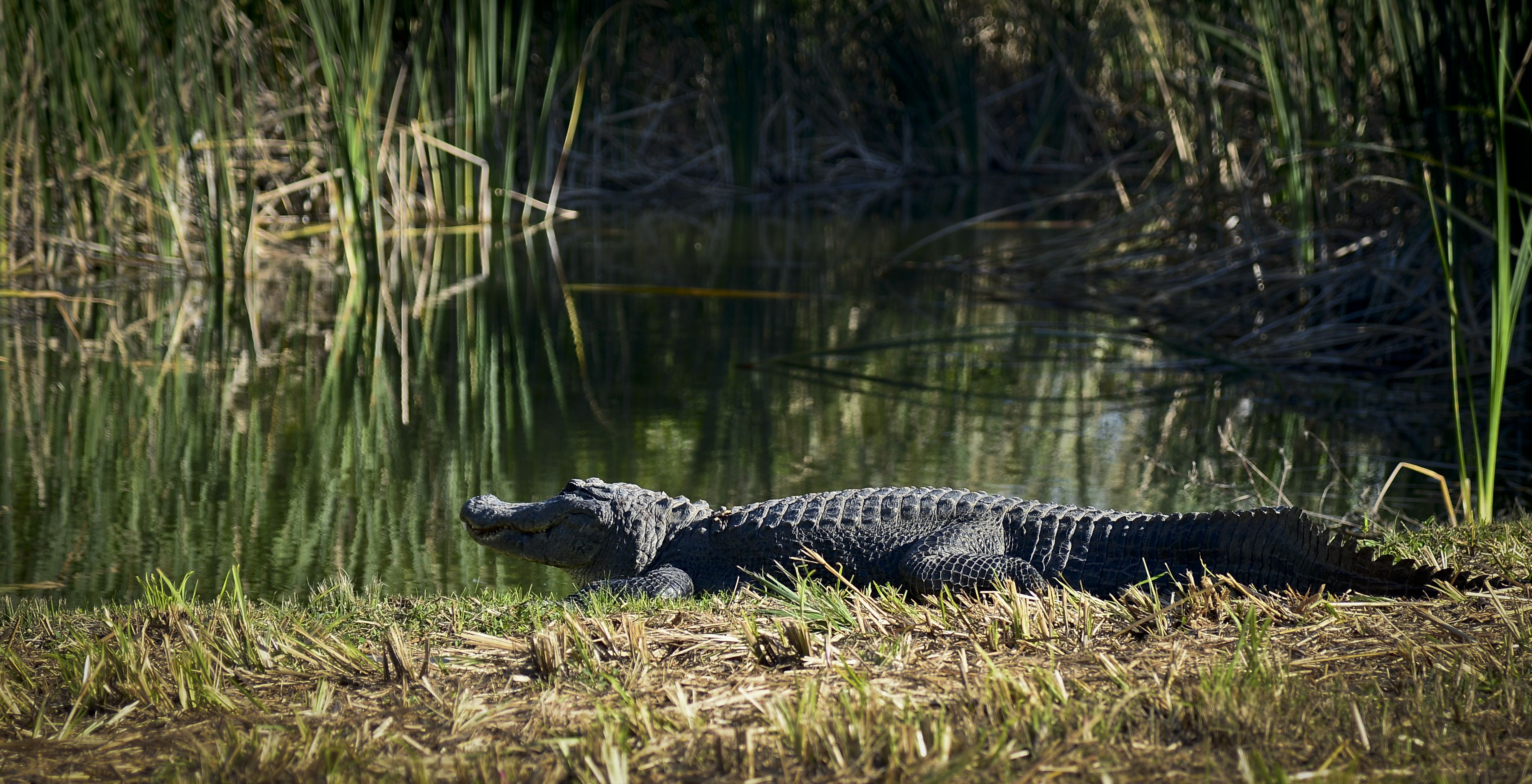 A Rogue Alligator Wandered onto a Florida Air Force Base