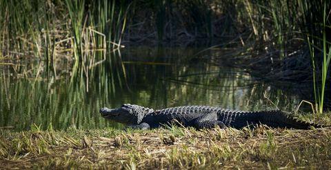 Alligator, Reptile, American alligator, Crocodilia, Saltwater crocodile, American crocodile, Nile crocodile, Wildlife, Crocodile, Nature reserve,